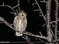Eurasian Scops-owl (Otus scops) (35671157991).jpg
