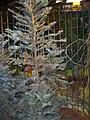 Euroflora-Wollemia nobilis 01.jpg