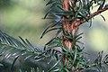 Europäische Eibe Taxus baccata 3844.jpg