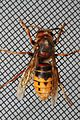 European Hornet - Vespa crabro, Woodbridge, Virginia - 15017076417.jpg