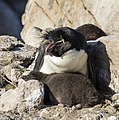 FAL-2016-New Island, Falkland Islands-Rockhopper penguin (Eudyptes chrysocome) 04.jpg