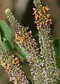 FALSE INDIGO (Amorpha fruitcoisa) (5-29-11) patagonia-sonoita creek preserve, scc, az -03 (5773233593).jpg