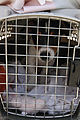 FEMA - 38024 - Evacuated puppy in a cage in Louisiana.jpg