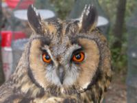 Face of long ear owl.JPG