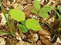 Fagus sylvatica seed 001.jpg