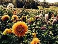 Fall flowerings (15555549421).jpg
