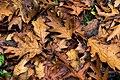 Fallen Oak Leaves - geograph.org.uk - 586227.jpg
