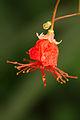Fata Morgana,Hibiscus grandidieri.jpg