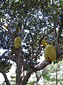 Fav Jackfruit Tree.jpg