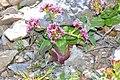 Fedia cornucopiae 5.JPG