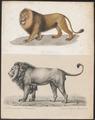 Felis leo - 1700-1880 - Print - Iconographia Zoologica - Special Collections University of Amsterdam - UBA01 IZ22100019.tif