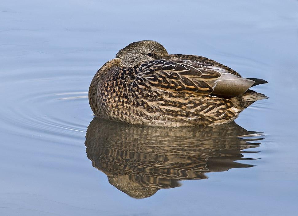 Female Mallard Duck Rest 3