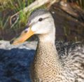 Female duck at rocky mountain national park.jpg