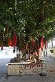 Ficus benghalensis à Pushkar (Rajasthan) (1).jpg