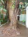 Ficus craterostoma, habitus, Tuks.jpg