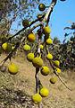Ficus exasperata 01.JPG