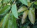 Ficus ingens 2c.JPG