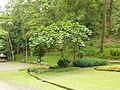 Ficus racemosa at Queen Sirikit Botanic Garden - Chiang Mai 2013 2704.jpg
