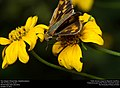 Fiery Skipper (Hesperiidae, Hylephila phyleus) (31005209356).jpg