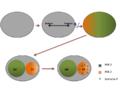 Fig. 3. Mecanismo de polarización celular de C .elegans..png