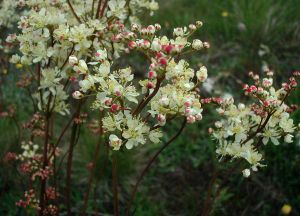 Gettlinge - Filipendula vulgaris (Dropwort) plant which is found on the Stora Alvaret.