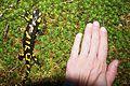 Fire salamander - hand.jpg