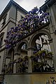Firenze - Florence - Via Luigi Salvatore Cherubini - View West on flowering Wisteria.jpg