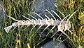 Fish Skeleton - MacGregor Point Provincial Park.jpg
