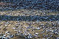 Fishes allow to dry in the sun, Cox's bazar.jpg