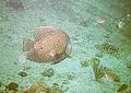 Fishies at Malmock Reef Aruba (2915582633).jpg