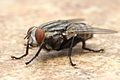 Flesh Fly Los Angeles 2015-08-06 5.jpg