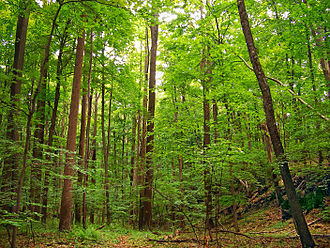 Deciduous - Second-growth deciduous forest,  Warren County, New Jersey, United States (June 2007)