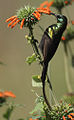 Flickr - Rainbirder - Bronze Sunbird (Nectarinia kilimensis) male.jpg