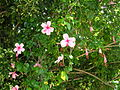 Flickr - brewbooks - Pink Hibiscus - Brisbane.jpg