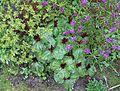 Flickr - brewbooks - Trillium chloropetalum 'Volcano' at Streissguth Gardens - Seattle (3).jpg