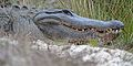 Flickr - ggallice - Alligator portrait.jpg