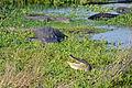 Flickr - ggallice - Basking gators.jpg