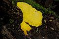 Flickr - ggallice - Slime-mold 2, Biotopo del Quetzal.jpg