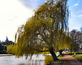 Flickr - ronsaunders47 - Weeping willow on the Bedford Embankment..jpg