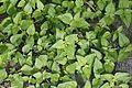 Flora of Calicut 5416.jpg