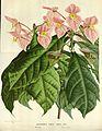 Flore des serres v16 173a.jpg