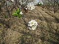 Flores de manzanos hermosas y puras.JPG