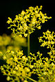 "Flower, ""Patrinia scabiosifolia"" - Flickr - nekonomania.jpg"