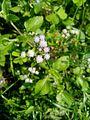 Flower of Ageratum conyzoides in Bangladesh.jpg