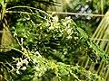 Flower of Moringa oleifera.jpg