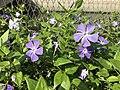 Flower of Vinca major 20190420.jpg