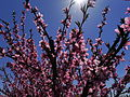 Flowering of peach trees.JPG