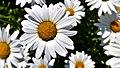 Flowers (35255269584).jpg