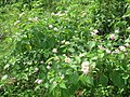 Flowers on Barunei Hill - panoramio.jpg
