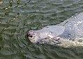 Focario de focas grises (Halichoerus grypus), Hel, Polonia, 2013-05-23, DD 10.jpg